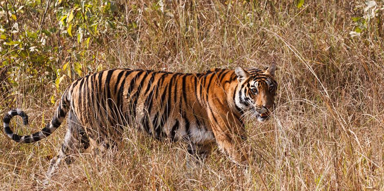Kanha Jungle Safari Tour