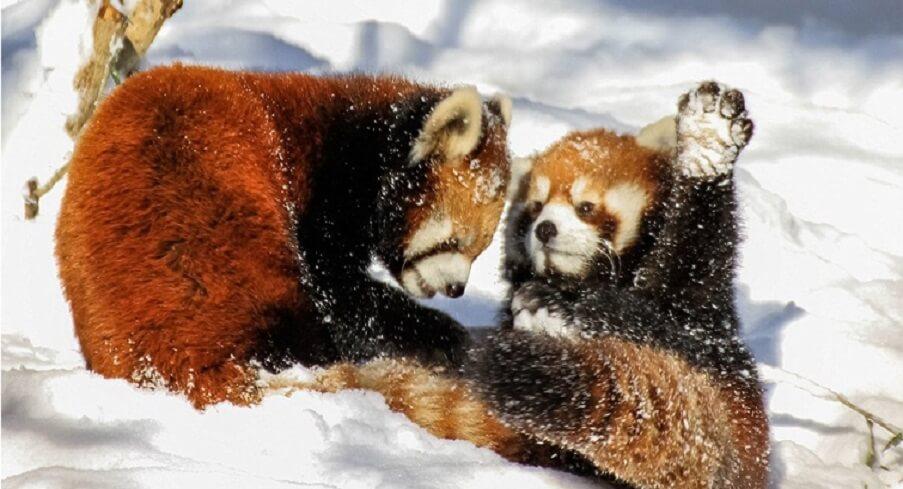 Top 10 Magnificent Himalayan Animals - Peak Adventure Tours