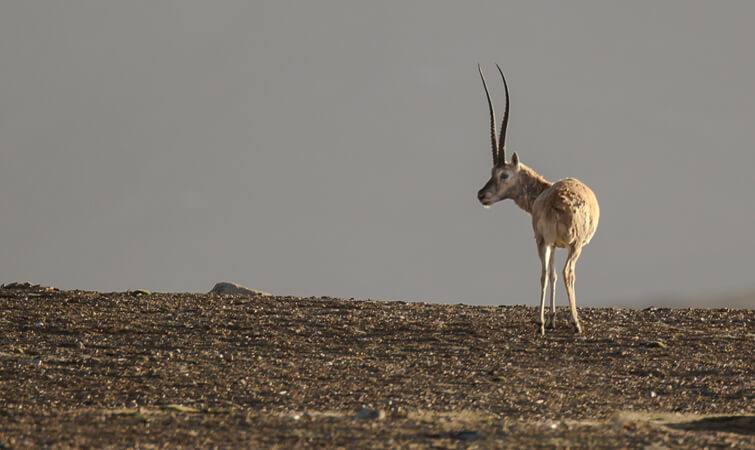 Tibetian Antilope Wildlife in Ladakh